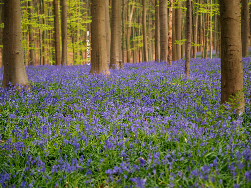 Bluebells At Hallerbos S Marks The Spots